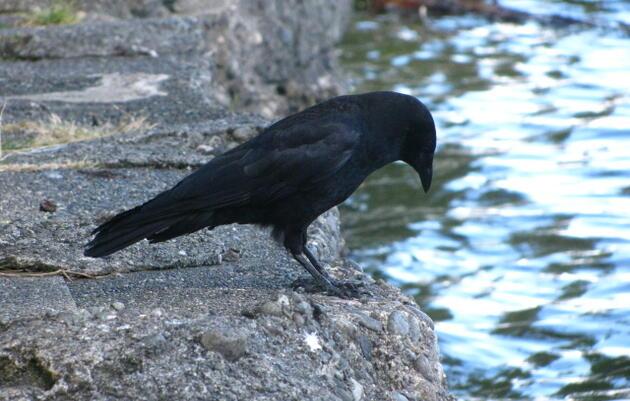 Bird Focus: Corvids
